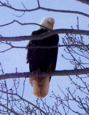 hearn-bald-eagle.jpg
