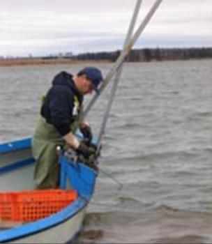 oyster-harvesting.jpg