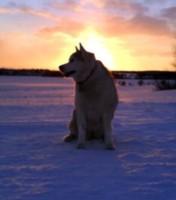 husky-silhouette-2.jpg